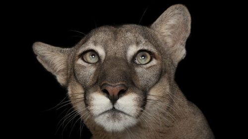 Флоридска пума (Puma concolor coryi) Зоопарк Лори Парк, Флорида. Credit: Joel Sartore/National Geographic Photo Ark