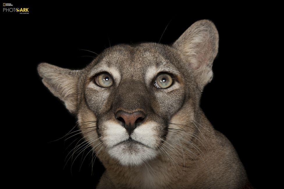 Флоридска пума (Puma concolor coryi) Зоопарк Лори Парк, Флорида. Credit: Joel Sartore/National Geographic Photo Ark
