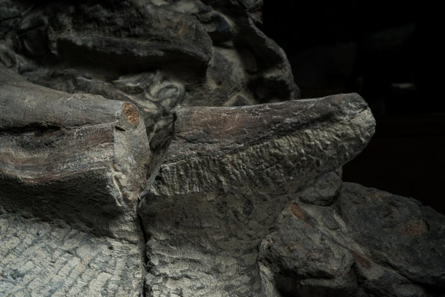 Счупване в шипа на рамото на нодозавъра разкрива напречно сечение на костната вътрешност. Върхът на шипа бил покрит с кератин, същото вещество, което се намира и в човешките нокти. Credit: Robert Clark