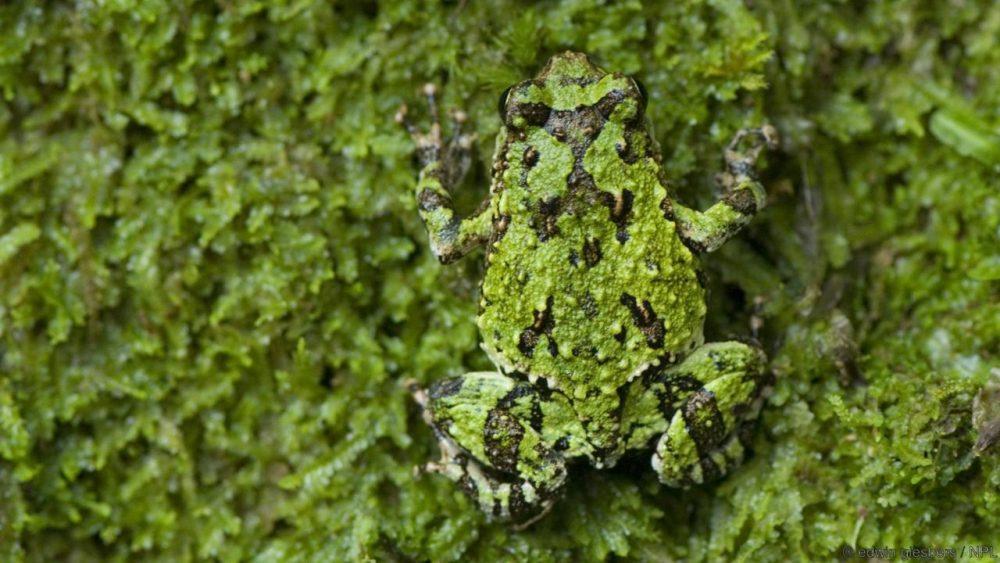 Зелена брадавичеста ровеща жаба. Credit: edwin giesbers / NPL
