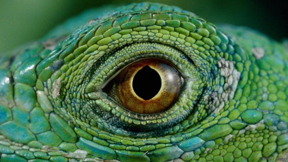 Зелена игуана. Credit: NPL / Alamy