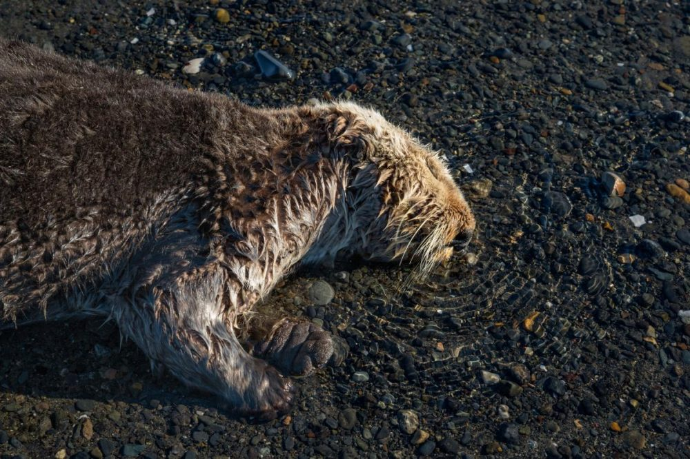 Болните и умиращи видри на Аляска. Умираща морска видра поема последен дъх. Популацията на морски видри в залива Качемак се счита за здрава, но броят на изхвърлените на брега близо до Омир, Аляска, през 2015 година, изненада учените и доброволците, които често съобщаваха за няколко мъртви на ден. Credit: Paul Nicklen