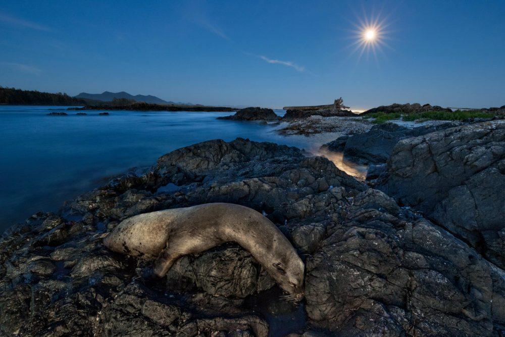 Хиляди калифорнийски морски лъвове като този върху камъните близо до канадския остров Ванкувър, умрели през 2014 и 2015 година. Много загинали от глад, докато се опитвали да намерят храна в необичайно топлия източен Тихи океан. Credit: Paul Nicklen