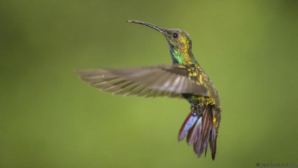 Зеленогушо мангово колибри. Credit: paul hobson / NPL