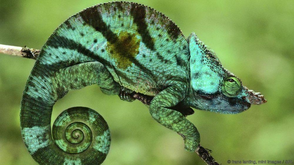 Хамелеон на Парсон. Credit: frans lanting, mint images / SPL