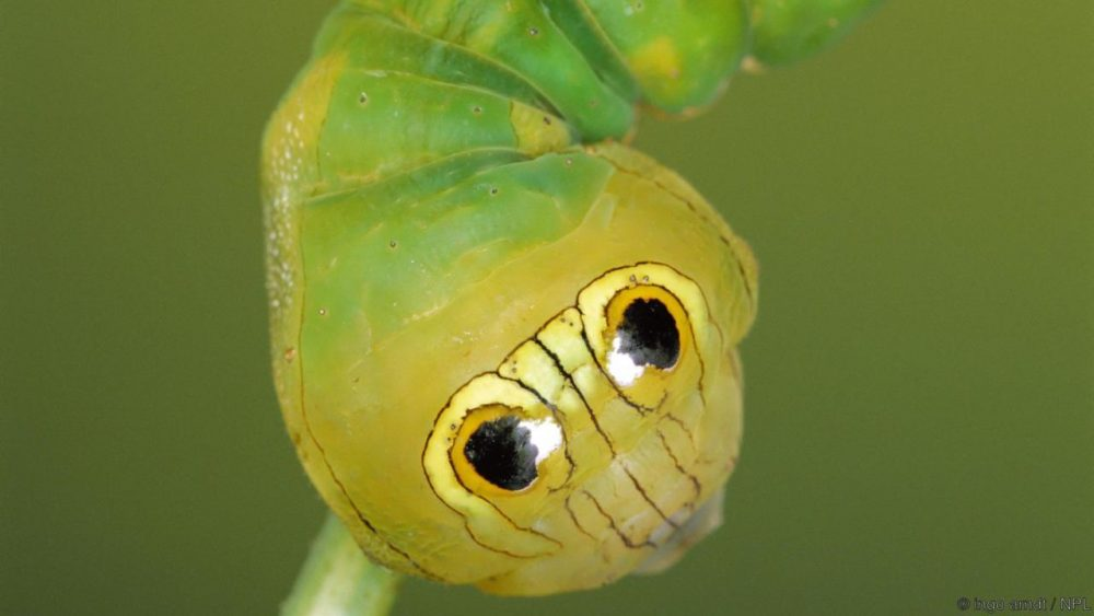 Гъсеница на копринена нощна пеперуда. Credit: ingo arndt / NPL