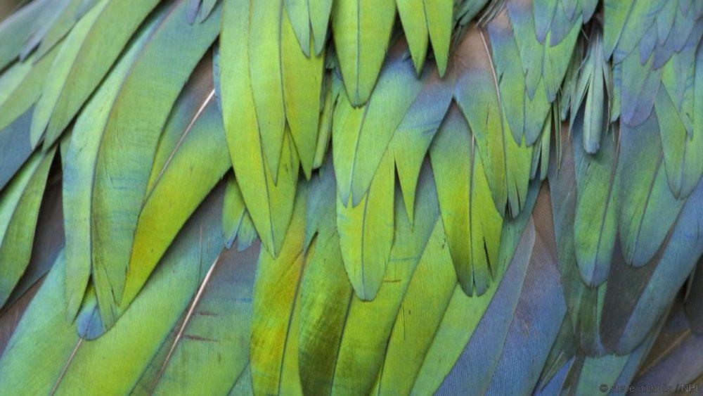 Пера на никробарски гълъб. Credit: steve nicholls / NPL