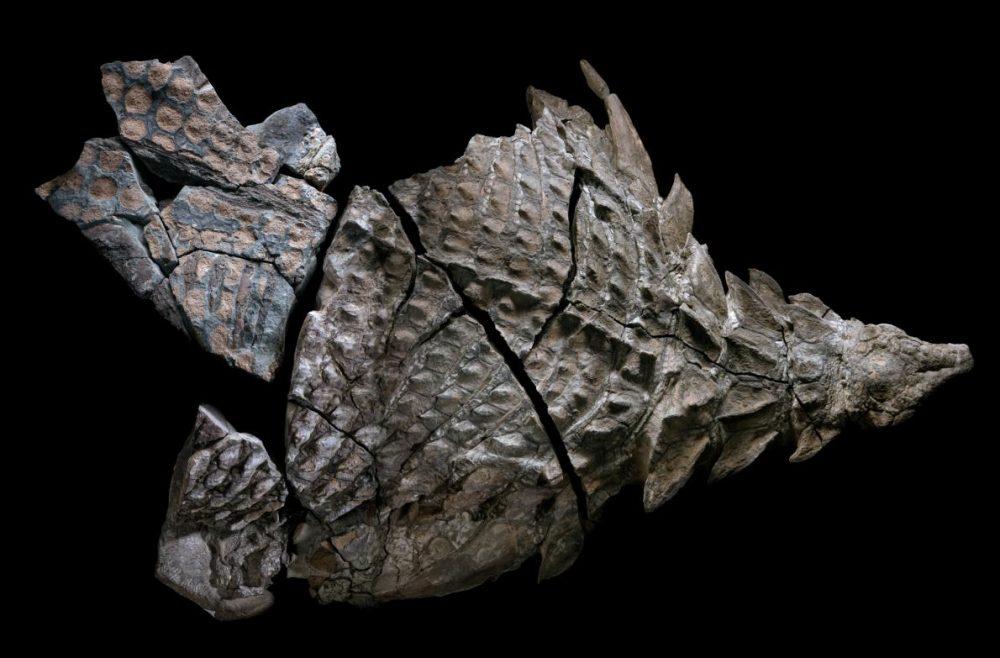 """Подреждане на пъзела. Докато е било живо, това внушително тревопасно животно – наречено нодозавър – е било дълго 5,5 метра и е тежало 1300 килограма. Изследователите подозират, че първоначално се е вкаменил цял, но когато бил открит през 2011 година, само предната част от муцуната до хълбока била достатъчно непокътната, за да се възстанови. Този екземпляр е най-добрият фосил на нодозавър, откриван някога. (Това е композиция от осем изображения, заснета в Кралския музей по палеонтология """"Тирел"""", Дръмхелер, Албърта.) Credit: Robert Clark"""