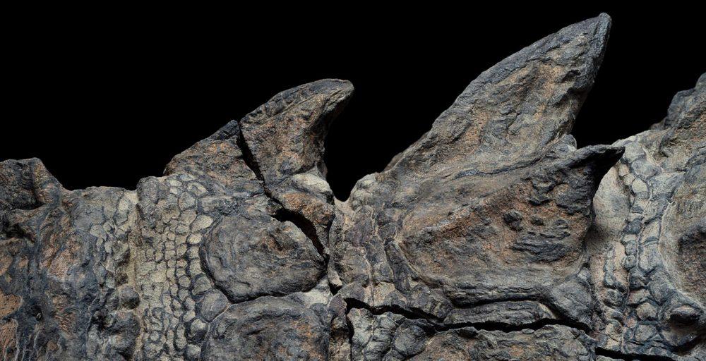 Предпазен от гниене. Отличителните плочи на бронирания динозавър обикновено бързо се разпадат – съдба, която не засегнала този динозавър. Забележително запазената броня ще увеличи знанията на учените за това как са изглеждали нодозаврите и как са се движели. Credit: Robert Clark