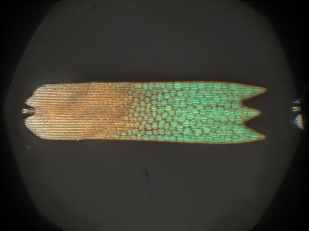 Люспите на крило на пеперуда, показващи различни цветове. Credit: Bodo Wilts