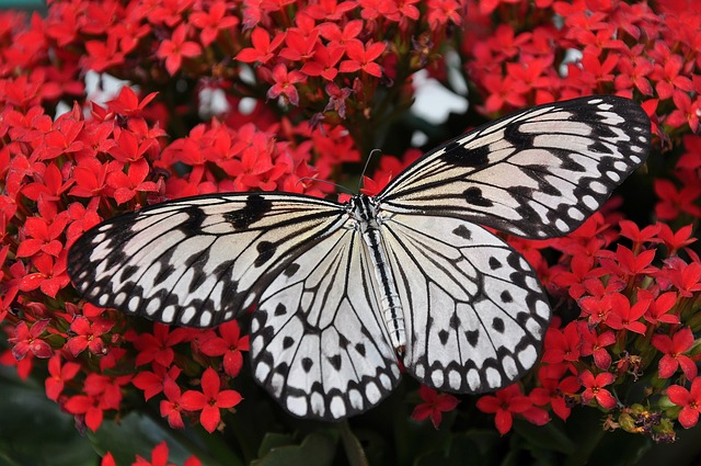 Пеперудите може да благодарят на нанокристалните структури за прекрасните си цветове.