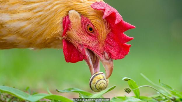 Ако охлювите можеха да говорят, този щеше да псува. Credit: Klein & Hubert/naturepl.com