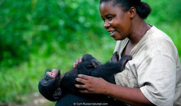 Бонобо (Pan paniscus), което е гъделичкано. Credit: Cyril Ruoso/naturepl.com