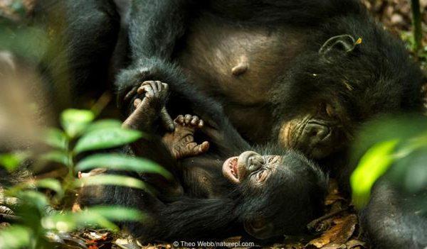 Женско бонобо (Pan paniscus) гъделичка бебето си. Credit: Theo Webb/naturepl.com