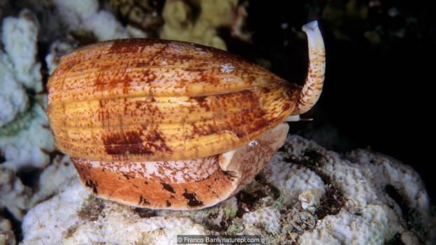 Конусовидни охлюви (Conus geographus). (Credit: Franco Banfi/naturepl.com)