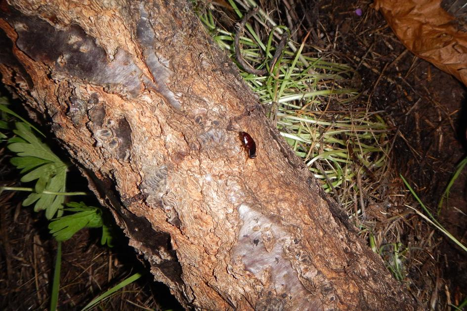 Млада хлебарка си почива върху ствола на дърво по време на чилийската зима. Credit: CONSTANZA SCHAPHEER CARRASCO