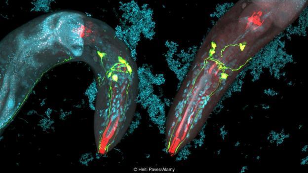 Caenorhabditis elegans може също да пътува в стомаха. Credit: Heiti Paves/Alamy