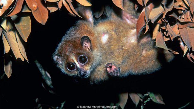 Бавно лори пигмей (Nycticebus pygmaeus). Credit: Matthew Maran/naturepl.com