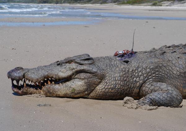 Крокодили използват водните течения за презокеански пътешествия