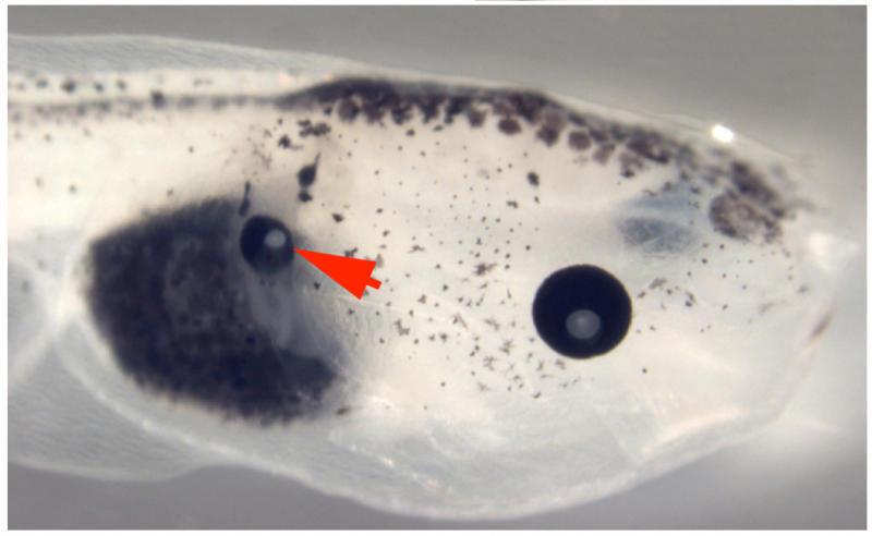 Очи на гърба растат на попови лъжички
