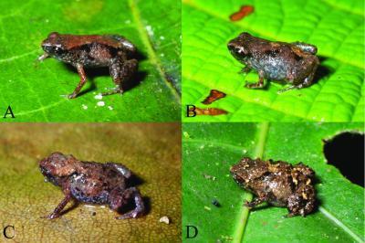 Най-малката жаба в света открита в Нова Гвинея
