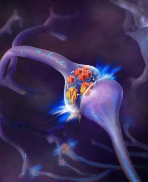 Прионоподобен протеин играе важна роля запазването на дълготрайни спомени
