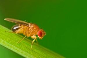 Лишени от секс плодови мушици се обръщат към алкохола