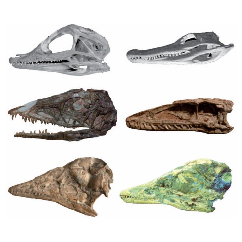 Еволюцията на птиците - резултат от драстична промяна в развитието на динозаврите
