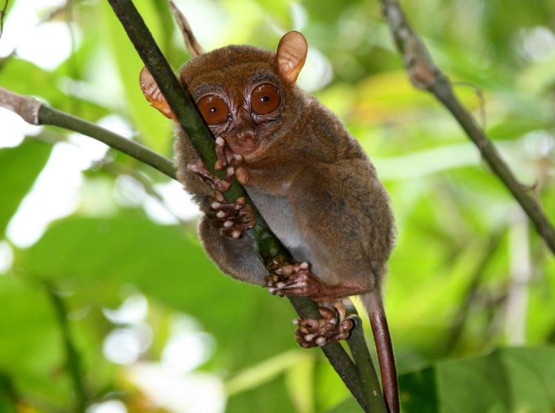 Изпъкналите очи на дългопетовите осветляват еволюцията на човешкото зрение