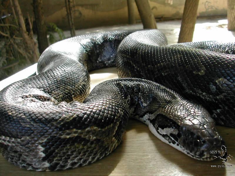 Поглъщат ли гигантските змии хора?
