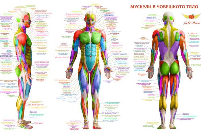 Мускули – устройство, видове и основни физиологични функции
