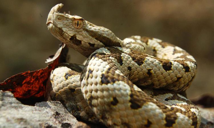 horned-viper