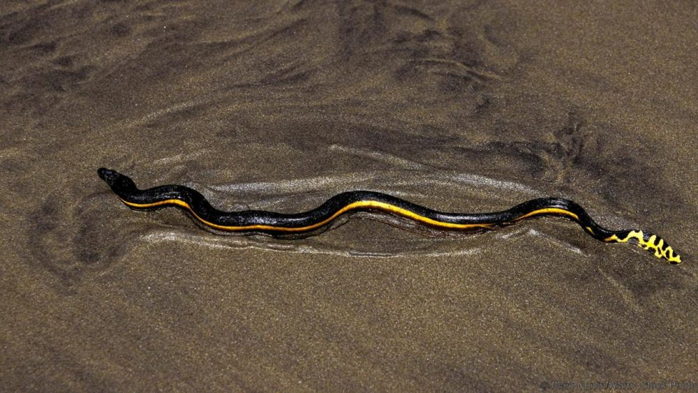 Жълтокорема морска змия Pelamis platura. Credit: Mark Conlin/Alamy Stock Photo