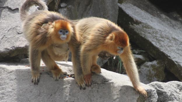 Маймуните акушерки