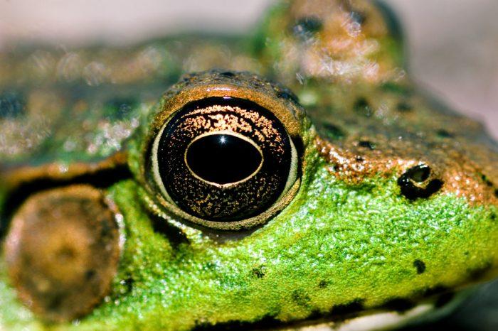 Рибите и жабите могат да пренастройват зрението си