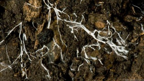 Мицелът на гъбите се разпространява чрез почвата. (Credit: Nigel Cattlin / Alamy)