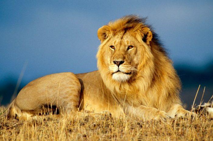 Оцеляването на африканските лъвове зависи от създаването на специлани коридори