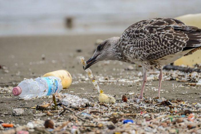 Защо морските птици ядат пластмаса? Ухае им вкусно