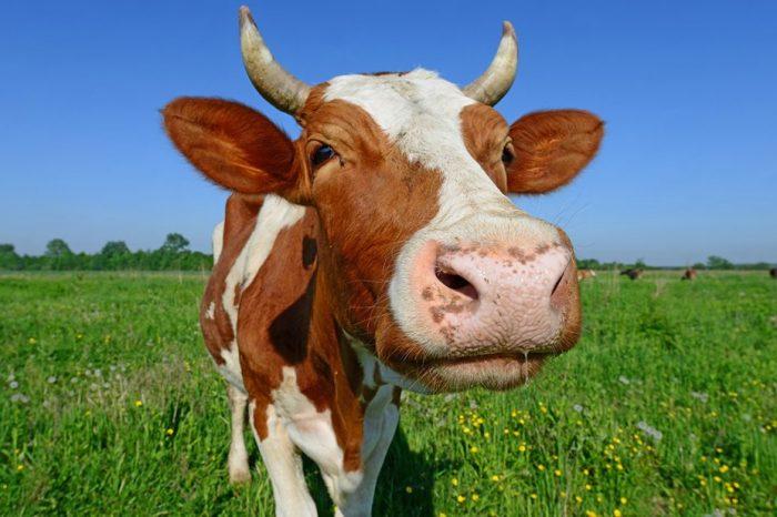 Проучване: Щастливите крави произвеждат по-качествено мляко