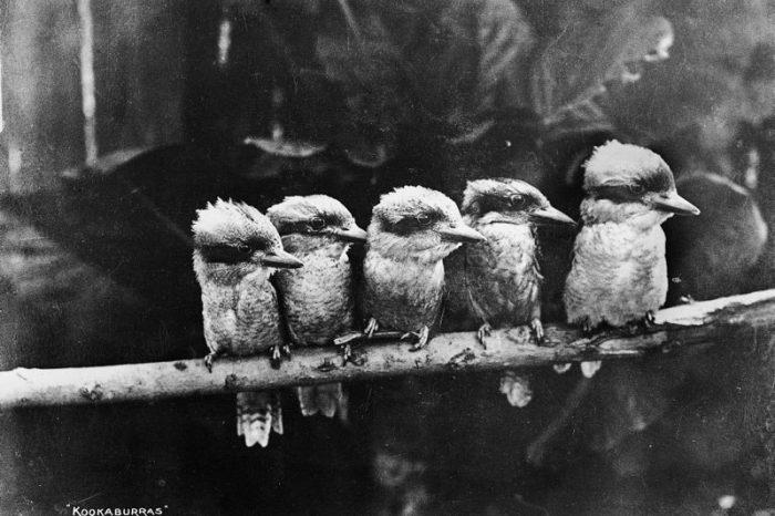 Снимка на птици от род Dacelo от 1900 година