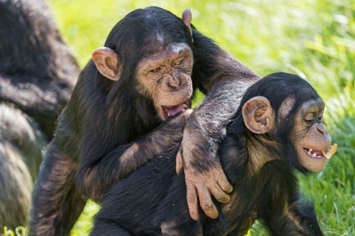Майки-шимпанзета учат децата си как да използват инструменти