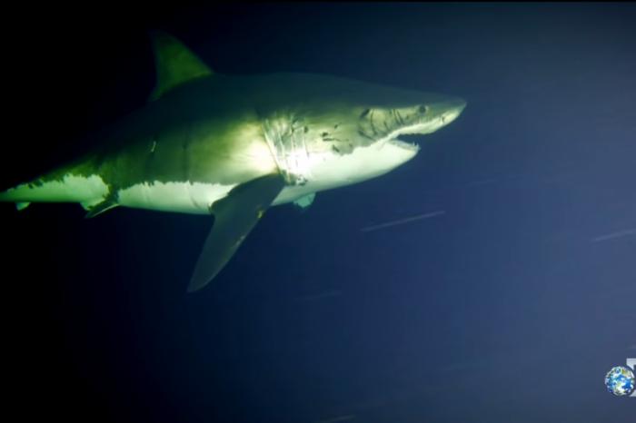За първи път е заснета спяща Голяма бяла акула!