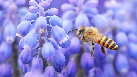 Поленът губи хранителните си качества за пчелите, с повишаването на CO2
