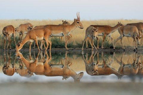 Учените установиха защо стотици антилопи загинаха внезапно миналата година