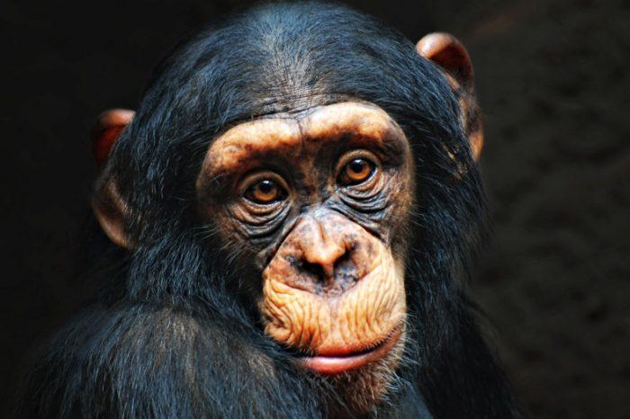 Пенсионират лабораторните шимпанзета