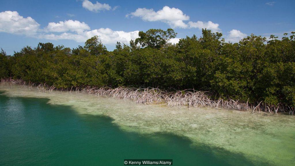 Мангровите гори могат да бъдат възстановени изненадващо бързо. Credit: Kenny Williams/Alamy