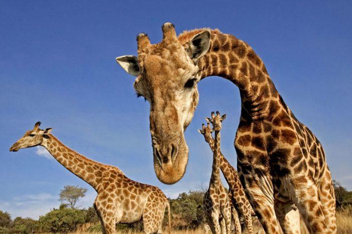 """Жирафите са изправени пред """"тихо изчезване"""" с намаляването на популациите им"""