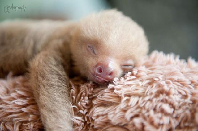 Сладурски бебета ленивци – спасени в резерват в Коста Рика