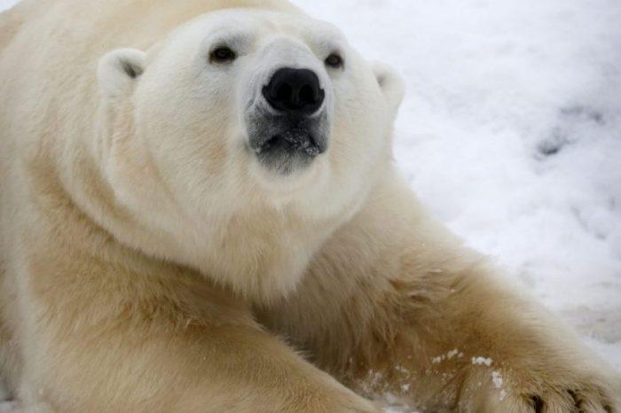 Хората погрешно тълкуват ''трогателно'' видео на полярна мечка, която си играе с куче