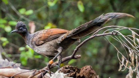 [АУДИО] Няма нужда от мъжки: женските птици лири си имат свои сложни песни